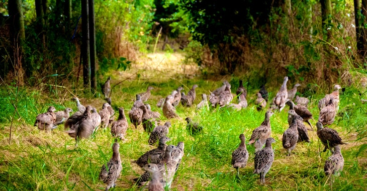50 million non-native gamebirds – damaging UK wildlife